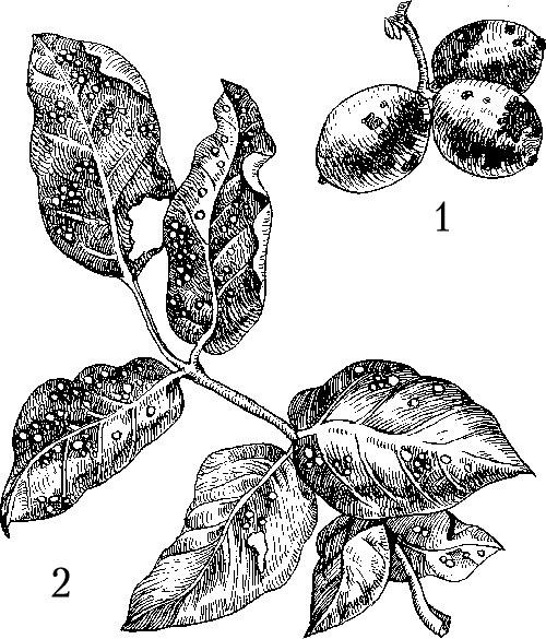 Картинки вредителей плодов и семян