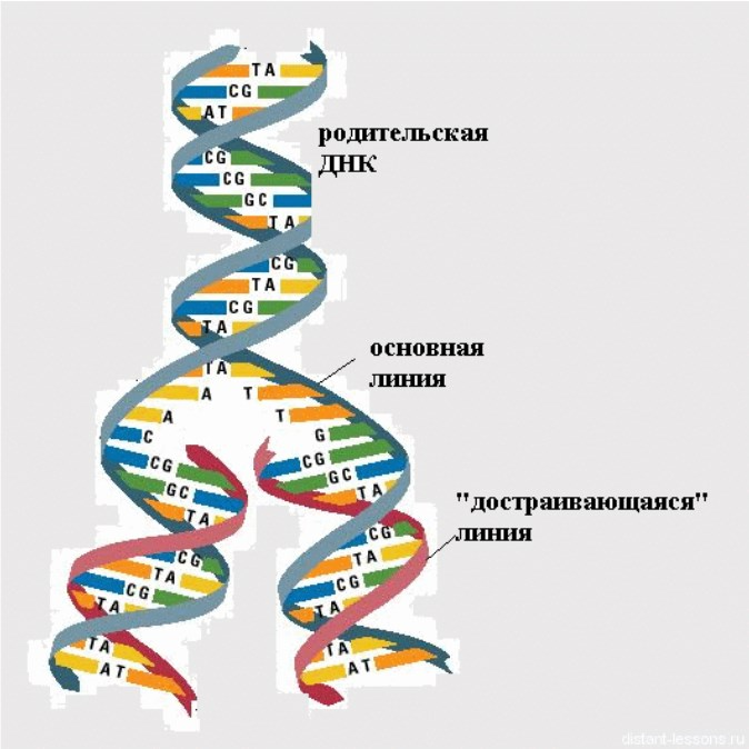картинки молекулы днк и репликации днк доме