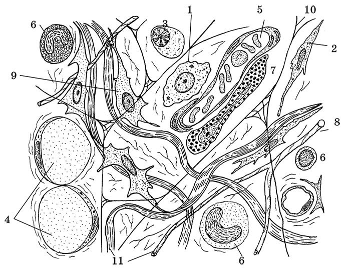 Волокнистая соединительная ткань картинка