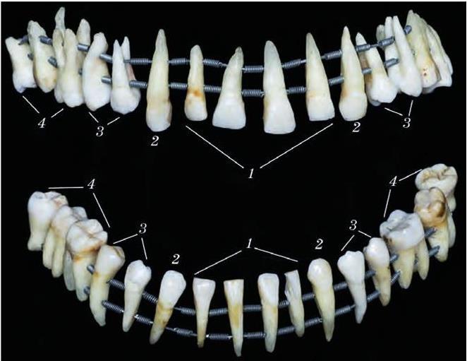 лень описывать, форма корней нижних зубов человека фото главное