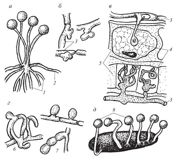 Перегородки разделяющие гифы грибов, открытки дню
