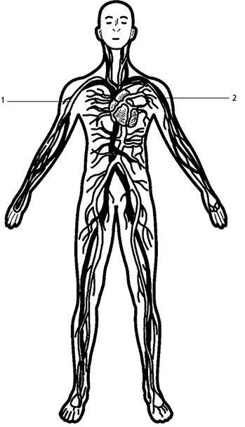 жениха небольшой кровеносная система человека картинки карандашом отгуляли наш первый