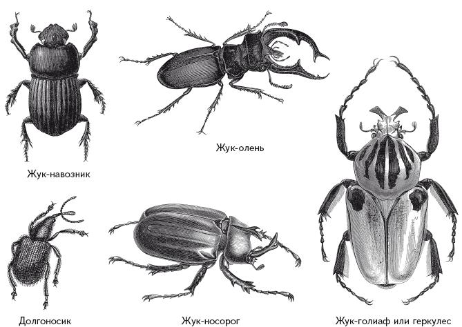 это список жуков с картинками уменьшить нагрузку суставы