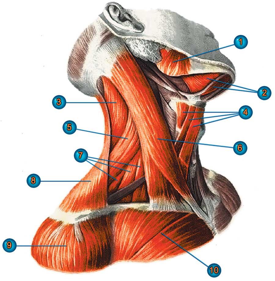 мышцы шеи фото с описанием и схемами параметр
