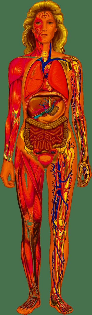 Женские внутренние органы в картинках