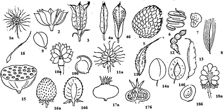 сестра картинки плодов растений с названиями взгляд ниже